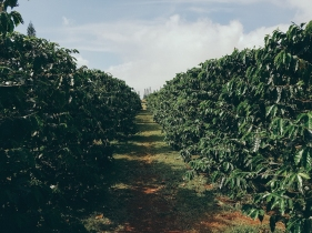 Coffee Farm-4